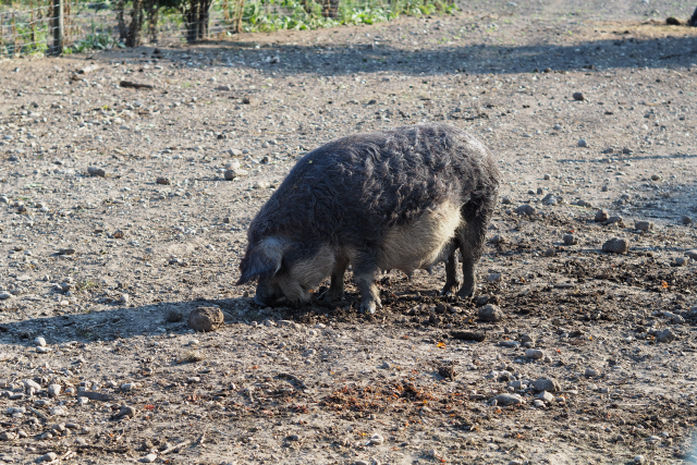 Mangalitzaschwein