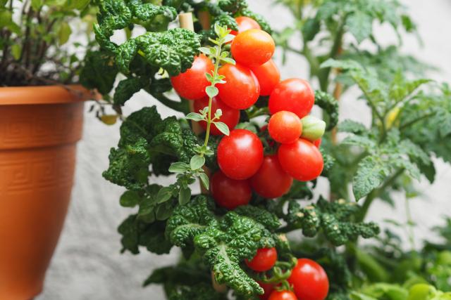 Gemüse-Carabineros mit Pluma (3)