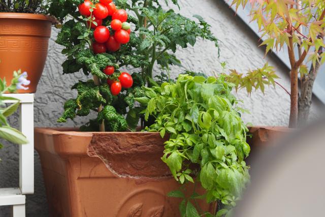 Gemüse-Carabineros mit Pluma (4)
